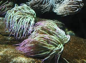 anemonia sulcata verte